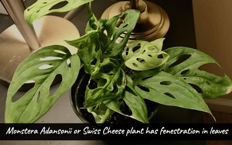 Swiss Cheese Plant