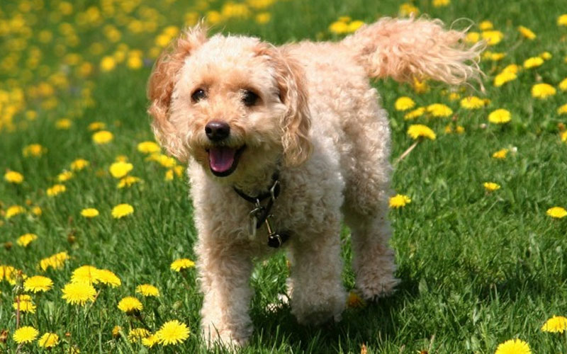 What's a Spoodle dog (Cockapoo)
