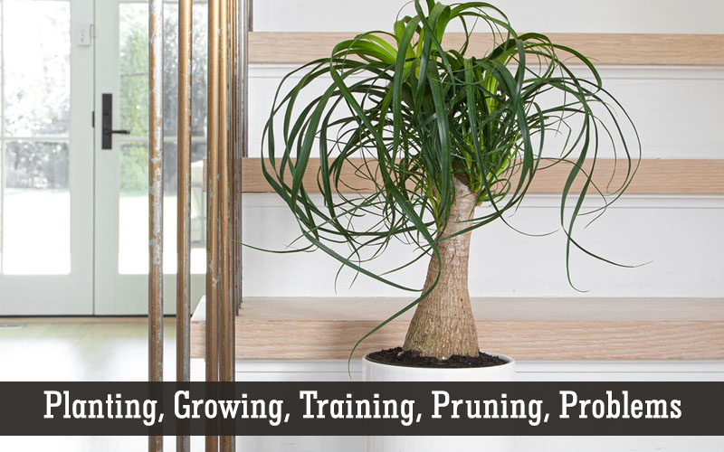 care of ponytail palm