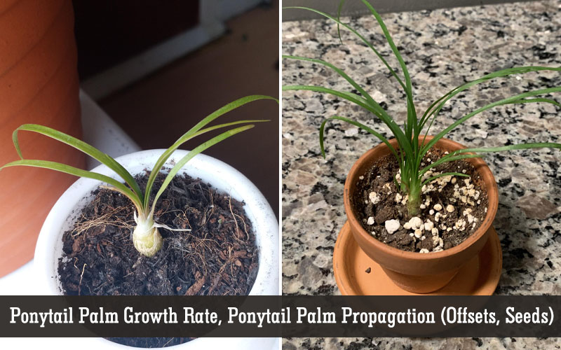 how to grow a ponytail palm