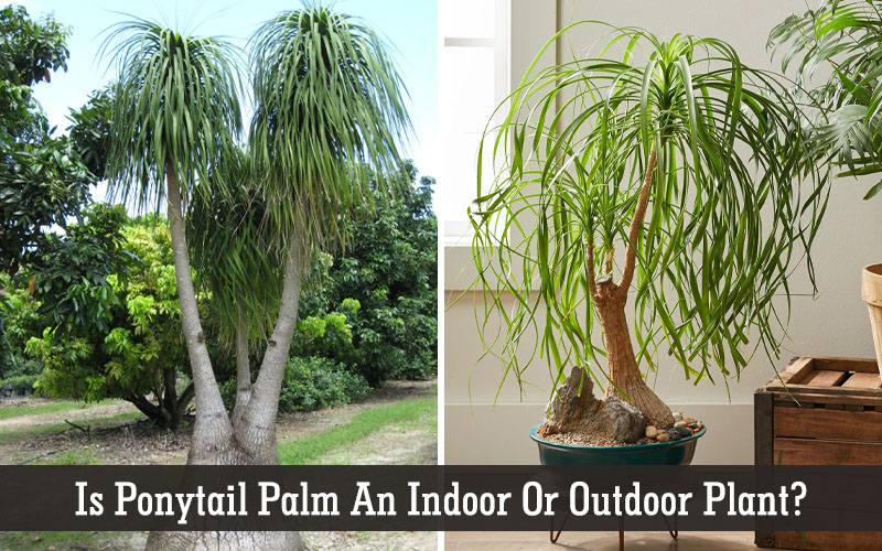 ponytail palm outdoor care