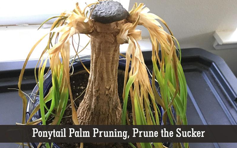 ponytail palm pruning