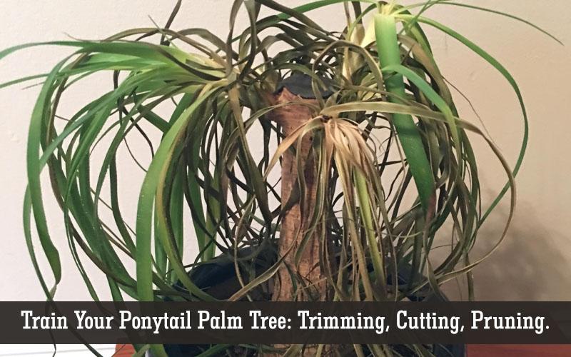 trimming ponytail palm