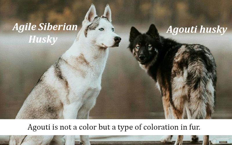 Agouti Color Appears in Huskies