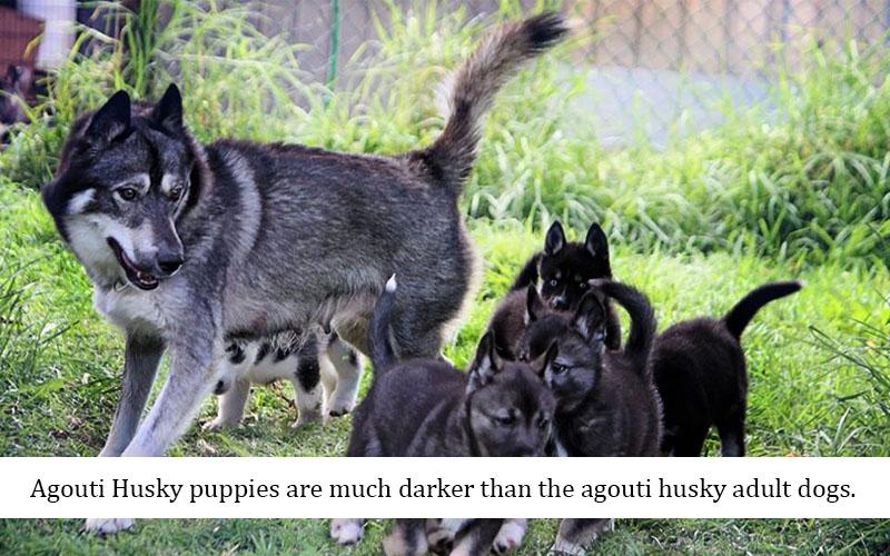 Agouti Husky puppies