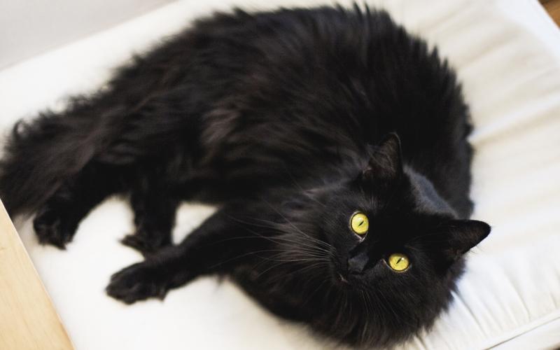 Black Chantilly cat