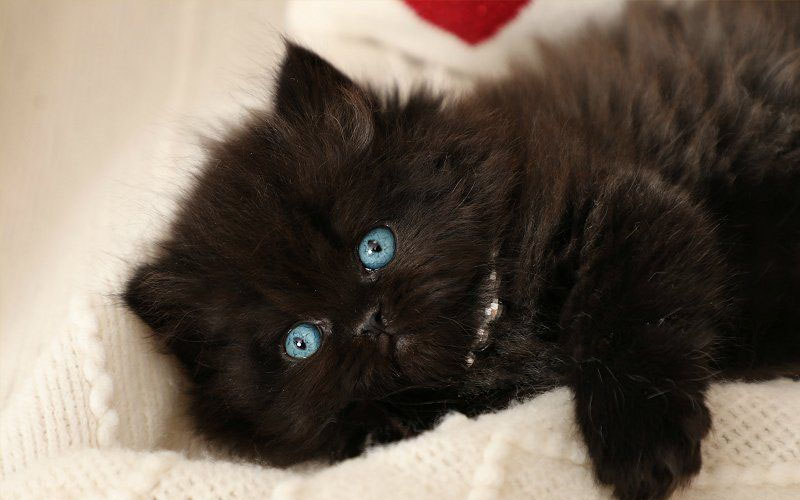 Black Persian cat with blue eyes
