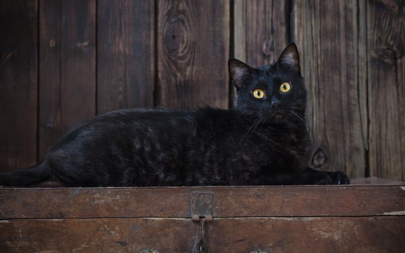 Black egyptian mau
