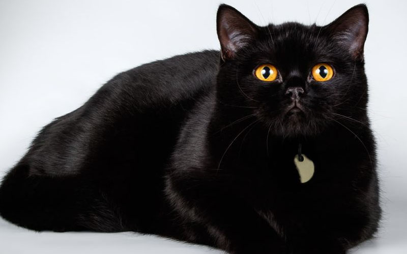 British shorthair black cat