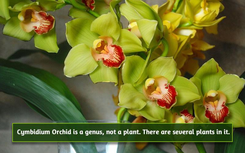 Cymbidium Orchid image