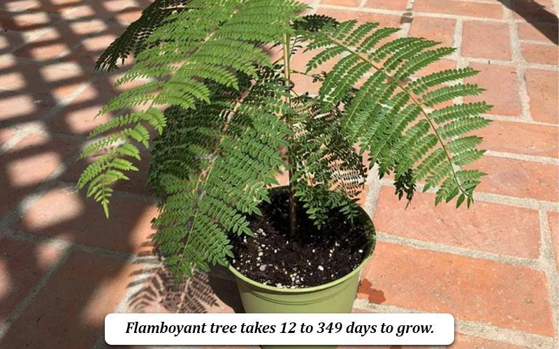 Flamboyant tree growth