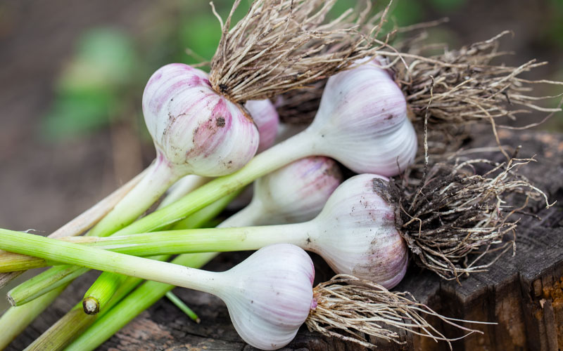 Green garlic substitute