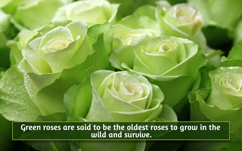 Green roses image