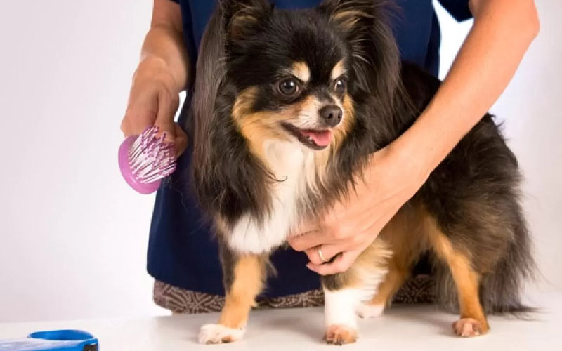 Grooming a long-haired Chihuahua