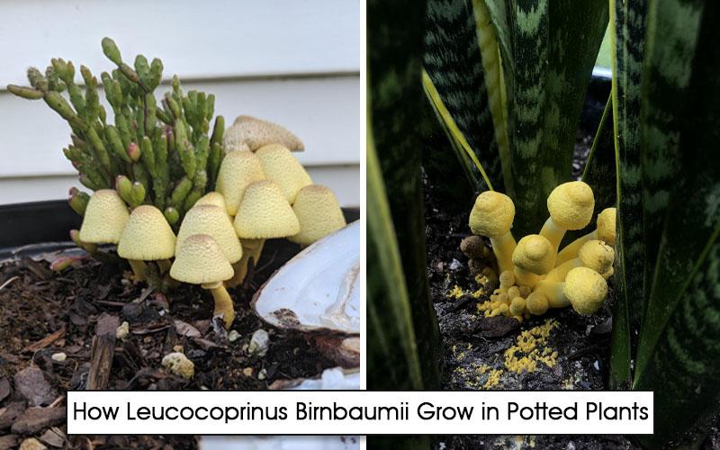 Leucocoprinus Birnbaumii Grow in Potted Plants