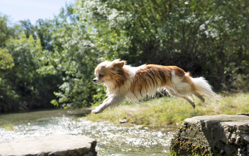 Long Haired Chihuahua Training