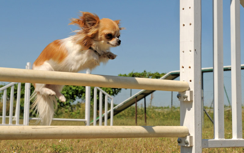 Long Haired Chihuahua Boundary Training