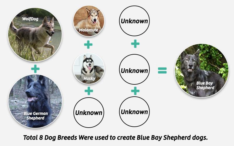 Parent Breeds of blue bay Shepherd