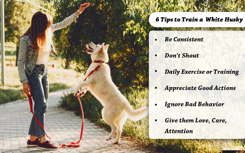 Train secrets of white husky