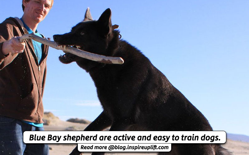 Training blue bay shepherd