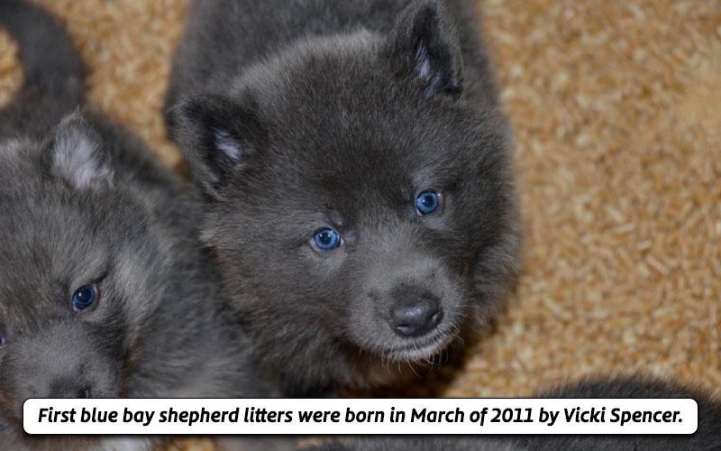 Trending blue bay shepherd breed