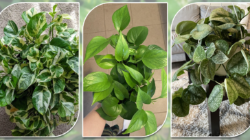 Types Of Pothos
