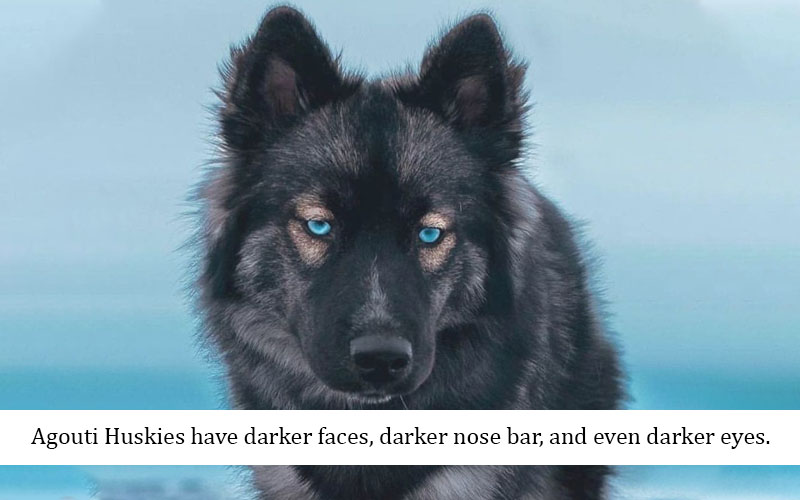 Wolf-like dog agouti husky