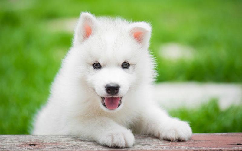 all white husky pup