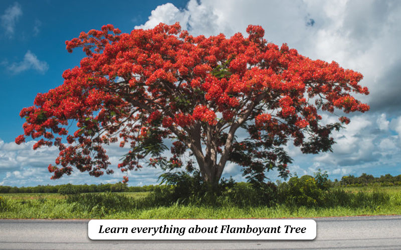flamboyant Tree definition
