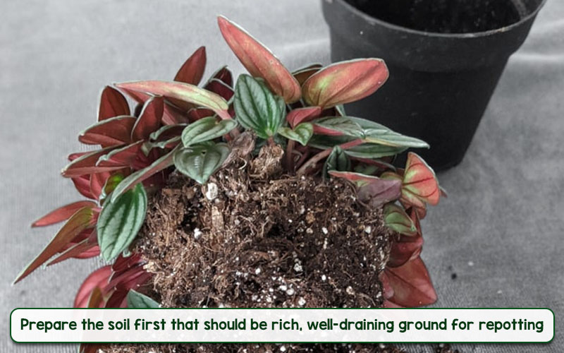 peperomia rosso soil