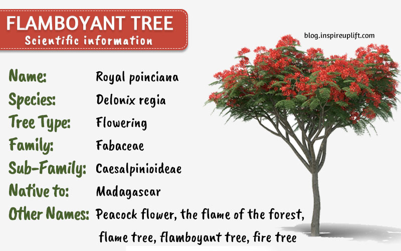 what is Royal poinciana