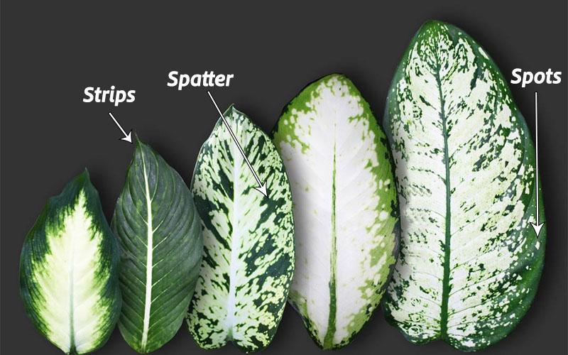 Dieffenbachia Has Variegated Leaves
