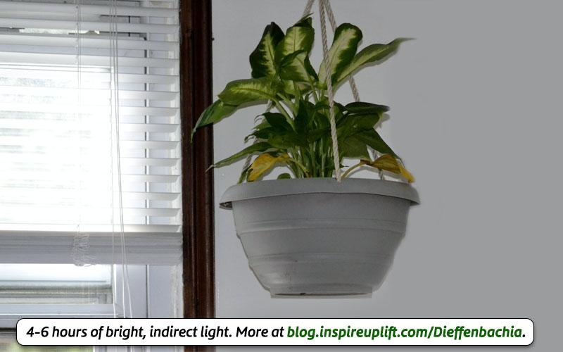 Dieffenbachia light