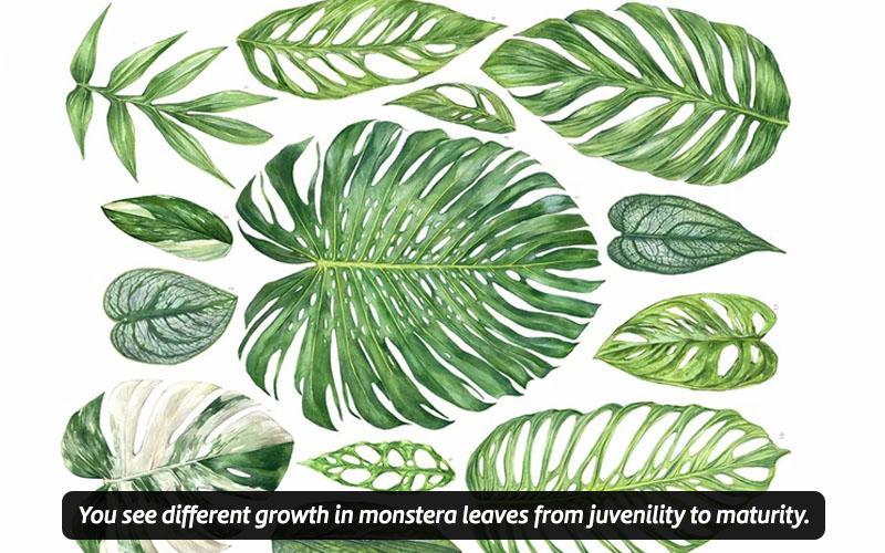 Identify Monstera Leaf