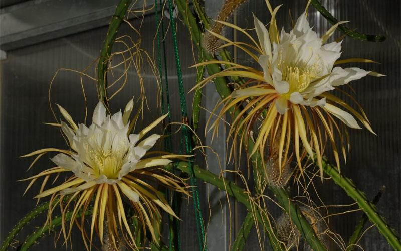 Night blooming cactus