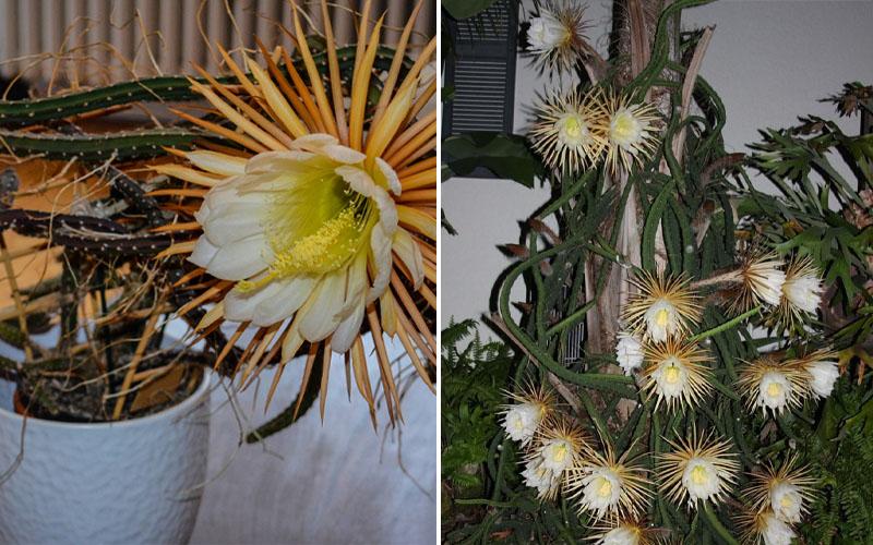 Where to grow night blooming cactus