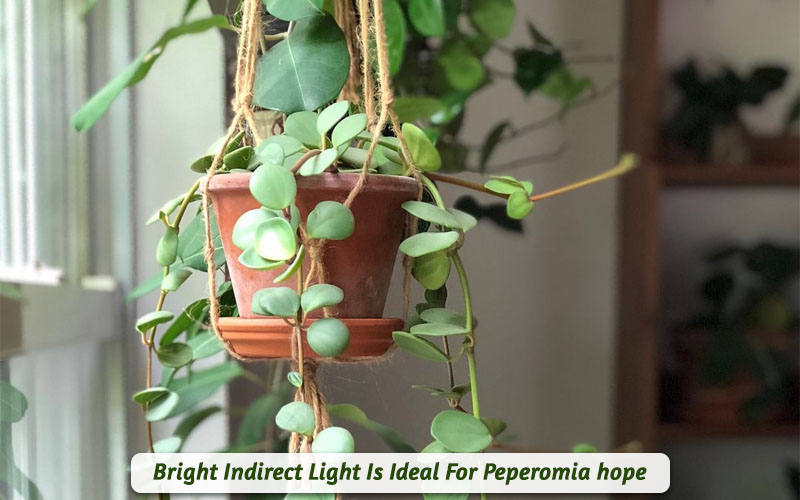 peperomia light