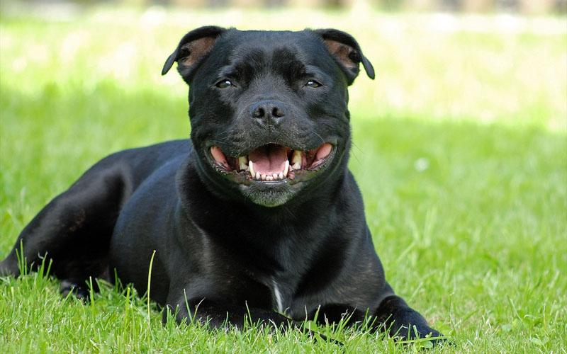 pit bull dogs black