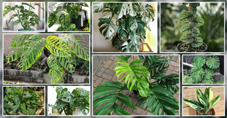 TypeS of Monstera plant