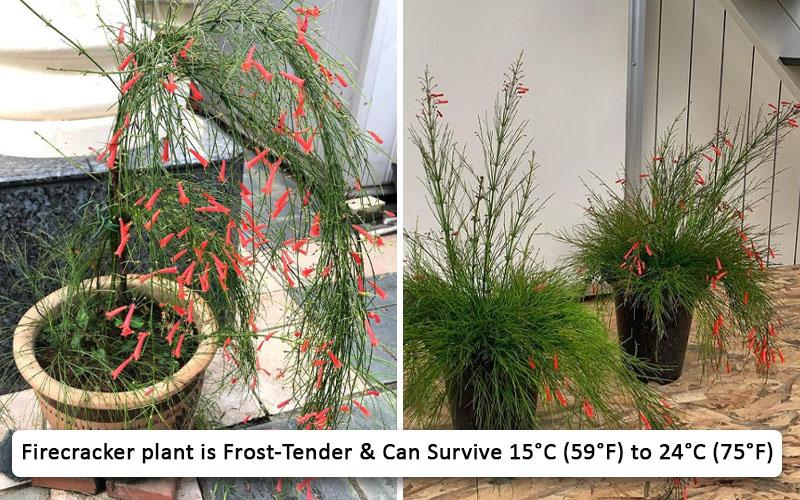 Firecracker plant care for winter