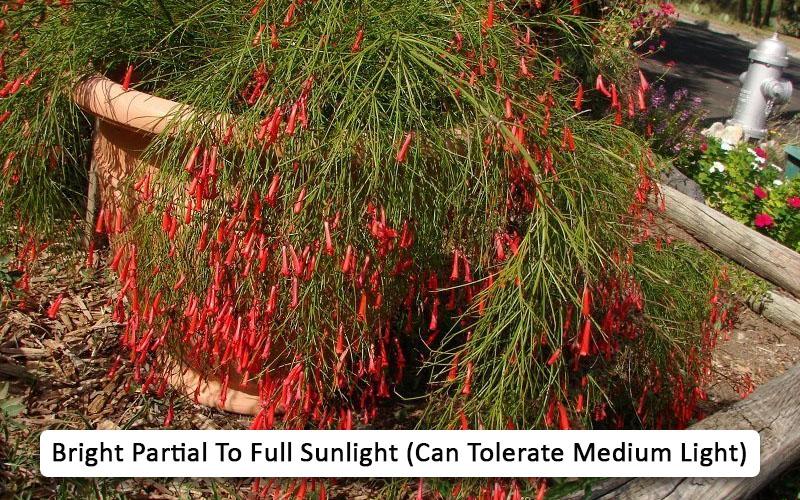 Firecracker plant light needs