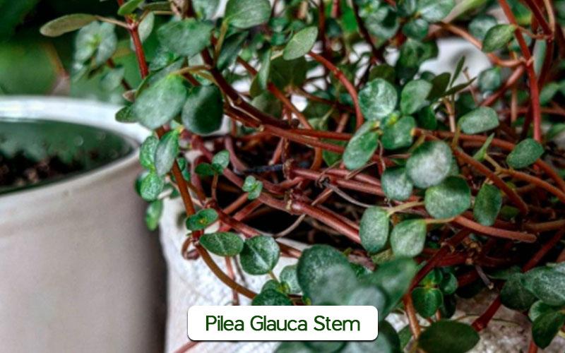Pilea Glauca Stem