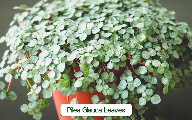 Pilea Glauca leaves