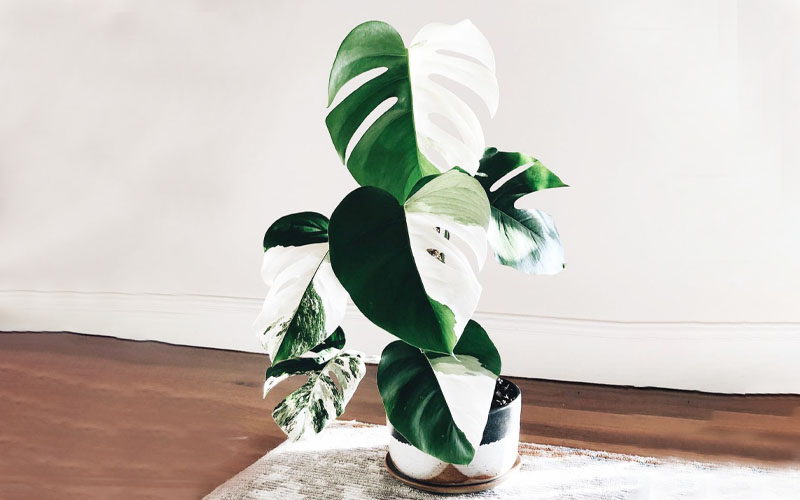 What causes Variegation in Monstera