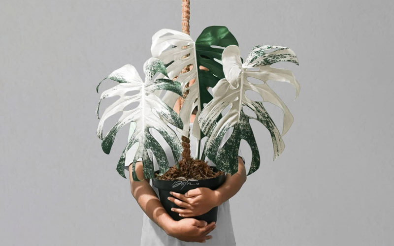 What is Variegated Monstera