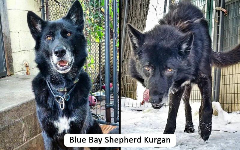 blue bay shepherd
