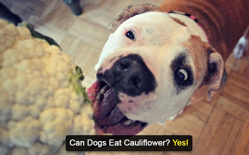 can dogs eat cauliflower