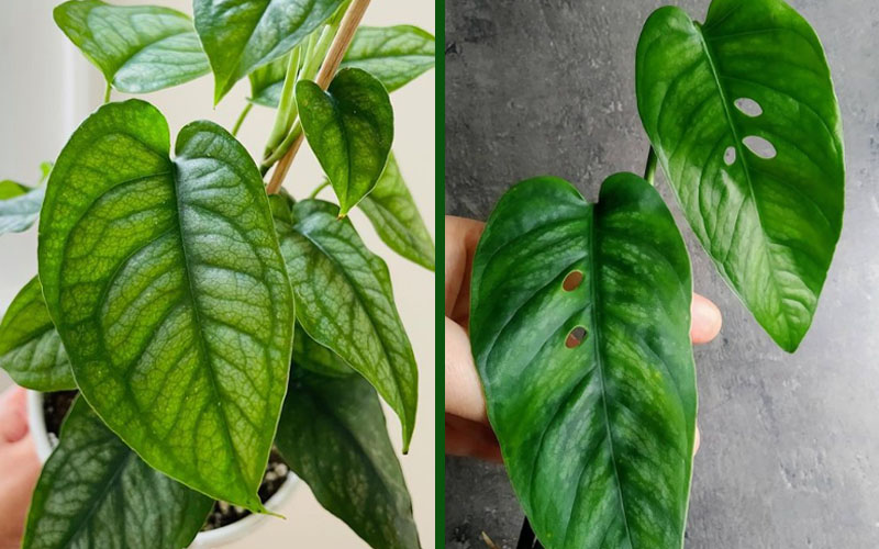 monstera leaves with and without holes