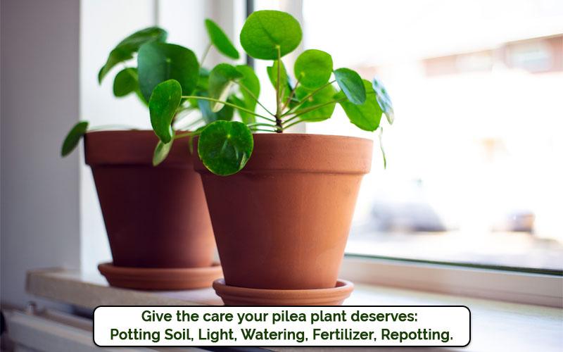 pilea plant care