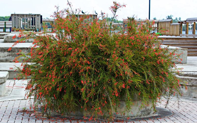 uses of firecracker plant